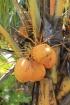 Cocos nucifera L Cocotier Noix de coco