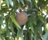 Coeur de Boeuf. Annona reticulata L