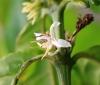 Coffea canephora Pierre ex A. Froehner