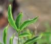 Coffea eugenioides S.Moore