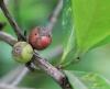 Coffea liberica W. Bull. ex Hiern