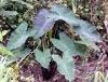 Colocasia esculenta. Taro, Songe, Chou de Chine.