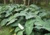 Colocasia esculenta.
