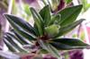 Columnea - Columnea crassifolia Flore de La Réunion