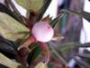 Fruit : Columnea - Columnea crassifolia Flore de La Réunion
