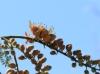 Colvillea racemosa Bojer