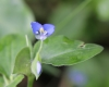 Commelina benghalensis L.