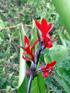 Conflore Canna indica Fleur