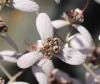 Liane orchidée