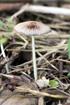 Coprin plissé, Parasola plicatilis ou Coprinus plicatilis