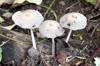 Parasola plicatilis(Curtis) Redhead et al