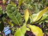 Homalium paniculatum, Corce blanc,  espèce endémique de la Réunion
