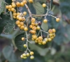 Fruits Cordia africana.