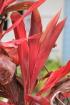 Cordyline fruticosa (L.) A. Chev.