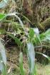 Cordyline mauritiana (Lam.) J.F. Macbr.