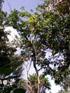 Annona muricata L
