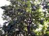 Corossol Corossolier Annona muricata