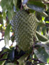 Fruit Corossol Corossolier Annona muricata