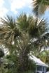 Corypha umbraculifera L. Tallipot. Talipot.