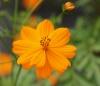 Cosmos sulphureus Cav. fleur.