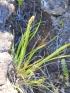 Costularia melicoides (Poir.) C.B. Clarke.