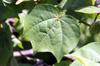 Cotonnier coton. Gossypium