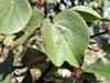 Cotonnier coton Gossypium