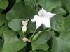 Fleur et fruit : Courge écarlate, Tindola. Coccinia grandis.