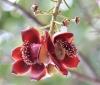 Couroupita guianensis Aubl