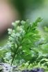 Crepidomanes bipunctatum (Poir.) Copel.