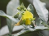 Crotalaria berteroana DC