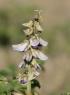 Crotalaria verrucosa L. Cascavelle à fleurs bleues.