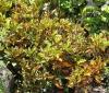Codiaeum variegatum (L.) Rumph. ex A. Juss.