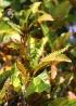 Croton. Codiaeum variegatum.