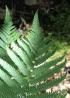 Ctenitis cyclochlamys. Fougère endémique de La Réunion
