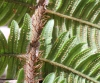 Ctenitis humida (Cordem.) Holttum
