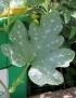 Cucurbita maxima Duchesne