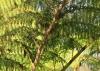 Cyathea cooperi (Hook. ex F. Muell.) Domin