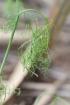 Cyclospermum leptophyllum. Feuilles.