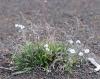 Cynoglossum borbonicum Bory.