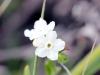 Cynoglossum borbonicum. Fleur blanche.