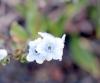 Cynoglossum borbonicum. Fleur bleue.