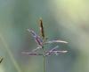 Cyperus rotundus L