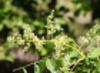 Spondias dulcis. Inflorescence.