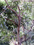 Cytise de l'Inde