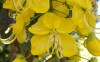Cassia fistula L