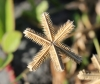 Dactyloctenium ctenoides (Steud.) Bosser.