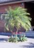 Phoenix roebelinii. Palmier dattier nain.