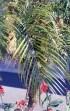 Palme : Phoenix roebelinii.