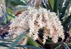 Phoenix roebelinii O'Brien